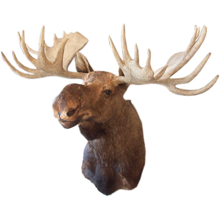 Truly Massive Mounted Moose Head Taxidermy At 1stdibs