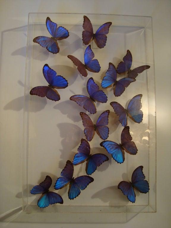 A Fantastic Sculpture Arrangment of Blue Morpho Butterflies 10