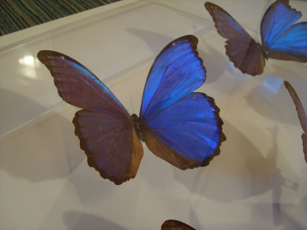A Fantastic Sculpture Arrangment of Blue Morpho Butterflies 4