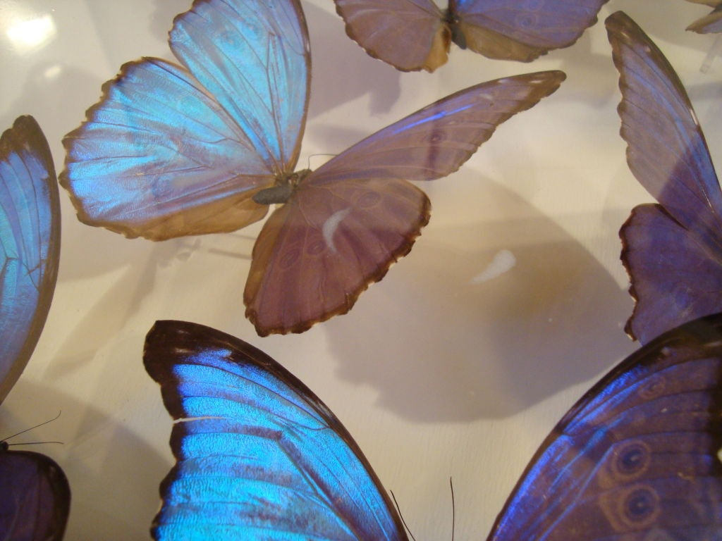 A Fantastic Sculpture Arrangment of Blue Morpho Butterflies 3