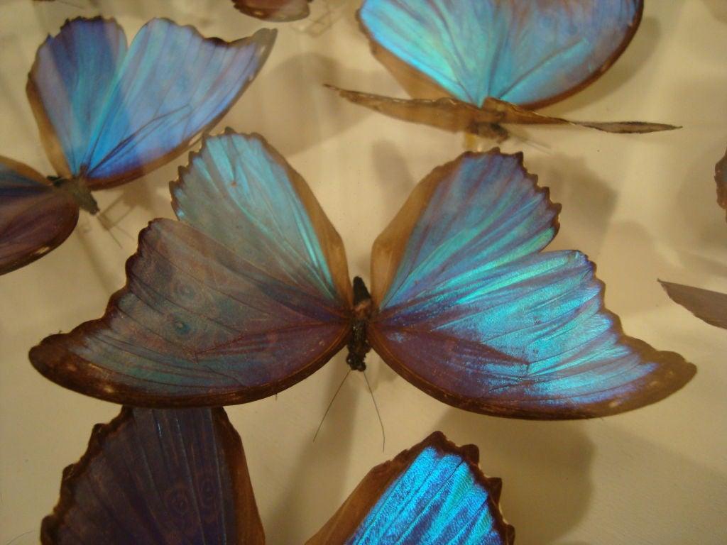 A Fantastic Sculpture Arrangment of Blue Morpho Butterflies 9