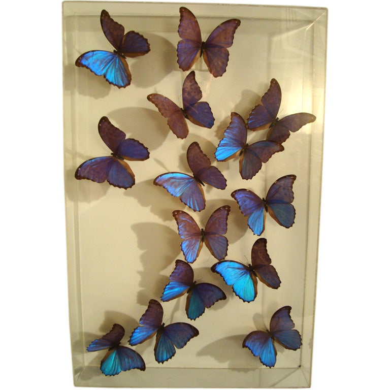 A Fantastic Sculpture Arrangment of Blue Morpho Butterflies