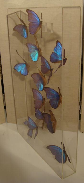 A Fantastic Sculpture Arrangment of Blue Morpho Butterflies 2