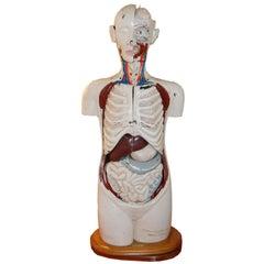 Medical Model by Denoyer Geppert