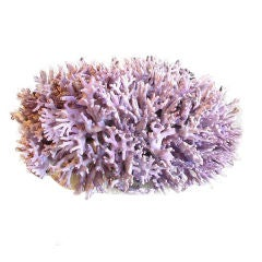 Purple Coral Centerpiece Mounted on Bowl Coral