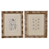 Five 19th Century Shell Prints in Vintage French Oyster Stick Frames