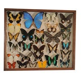 Collection of Exotic Butterflies and Moths