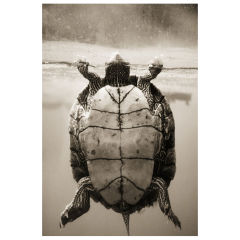 Texas Map Turtle–Graptemys Versa by Henry Horenstein