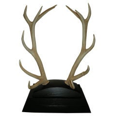 Monumental Pair of Trophy Red Stag Antlers, Scotland