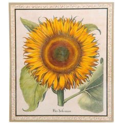 Hand-Colored Copper Engraving of a Sunflower by B. Besler
