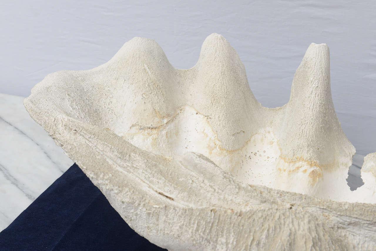 Beautiful Gigantic Calm Shells--1970s USA For Sale 1