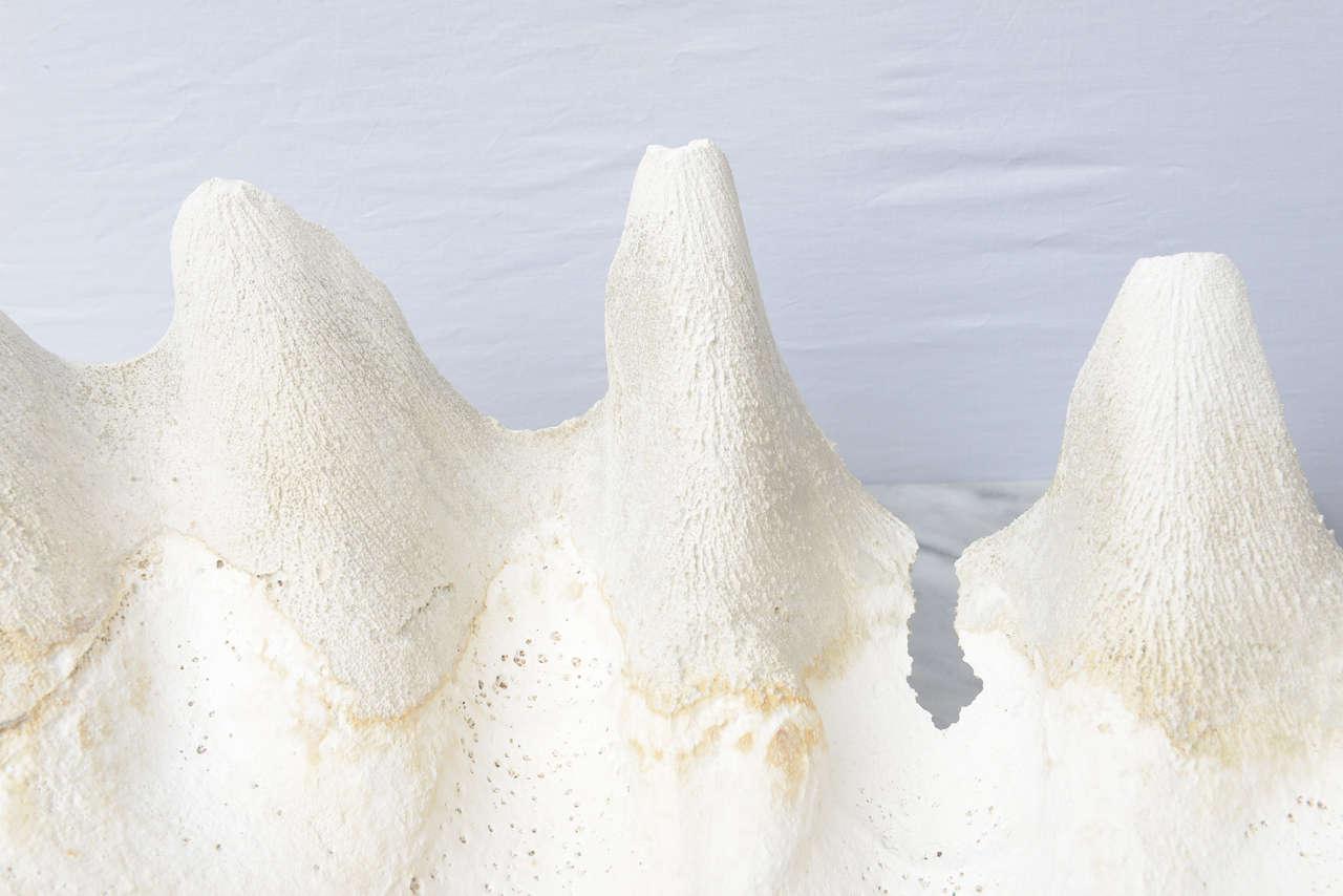 Beautiful Gigantic Calm Shells--1970s USA For Sale 3