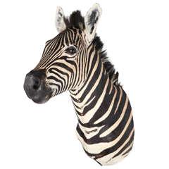 Taxidermy Vintage Burchell Zebra Head