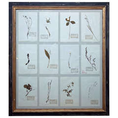 Large Framed Group of French Pressed Botanical Specimens