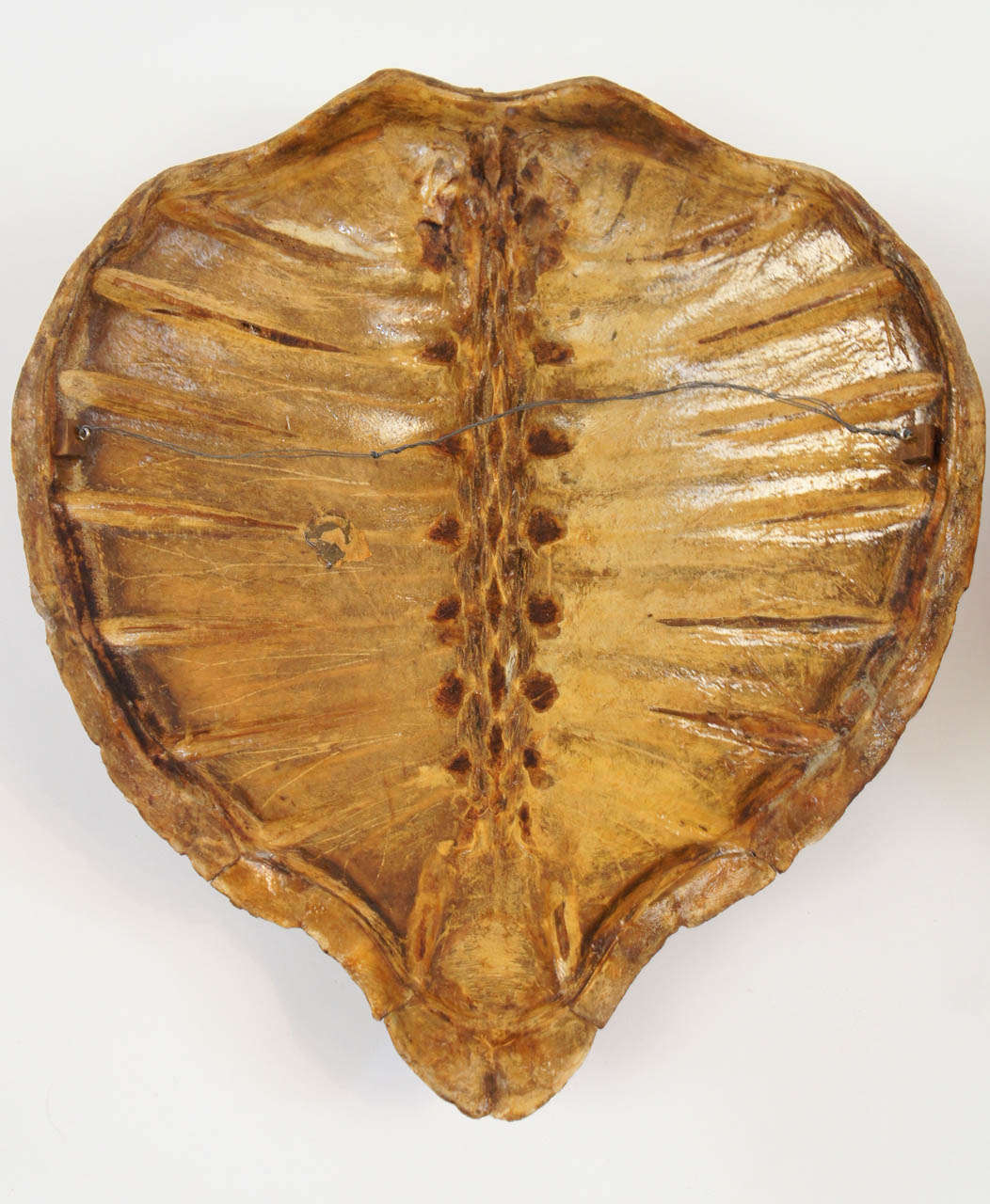 Two Large Marine Turtle Shells Or Carapaces 19th Century