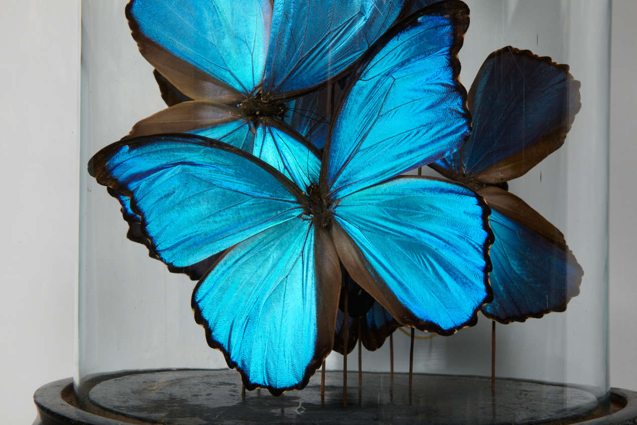 Collection of Morpho Butterflies under Glass Dome 3