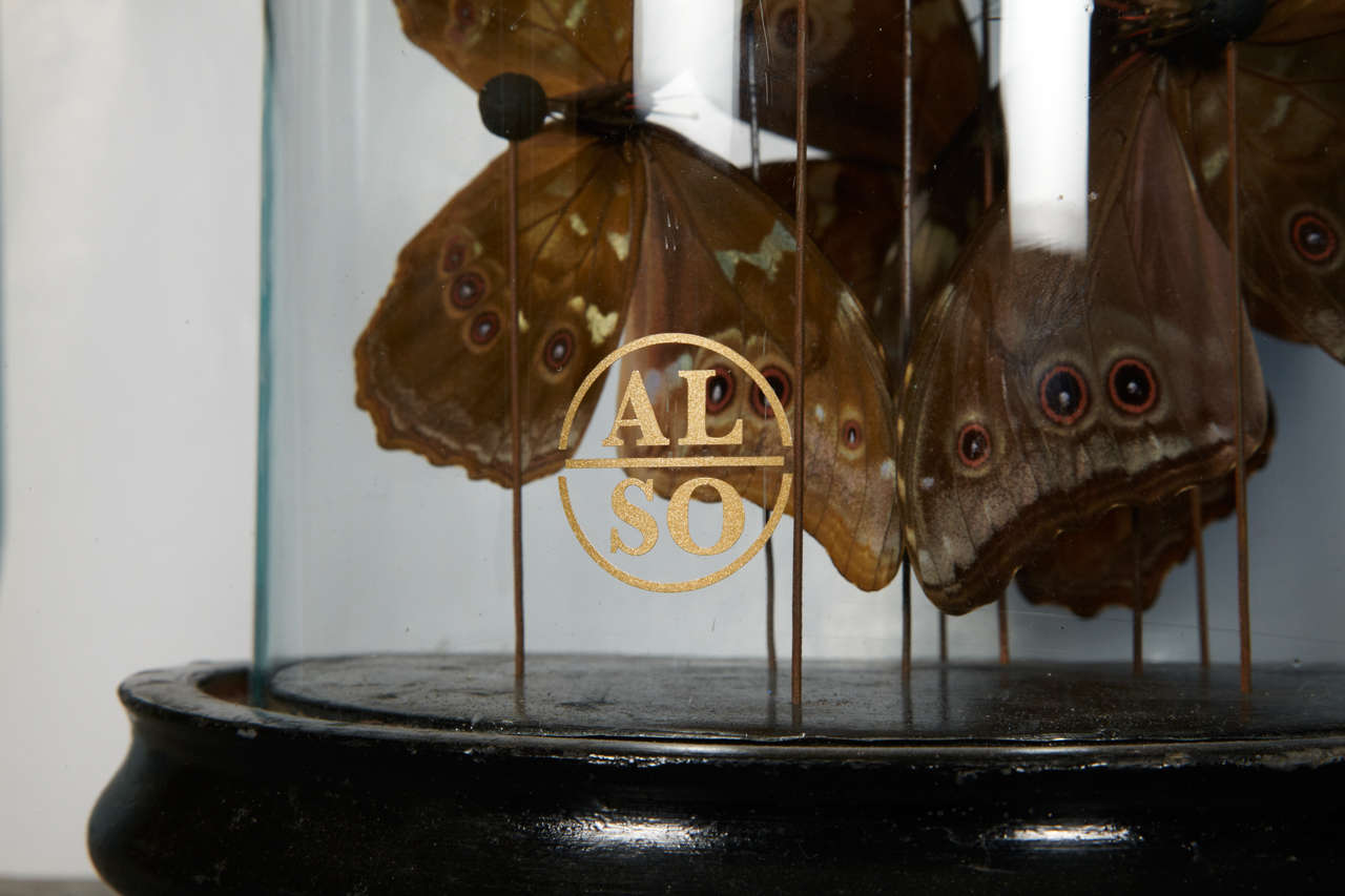 Collection of Morpho Butterflies under Glass Dome 4