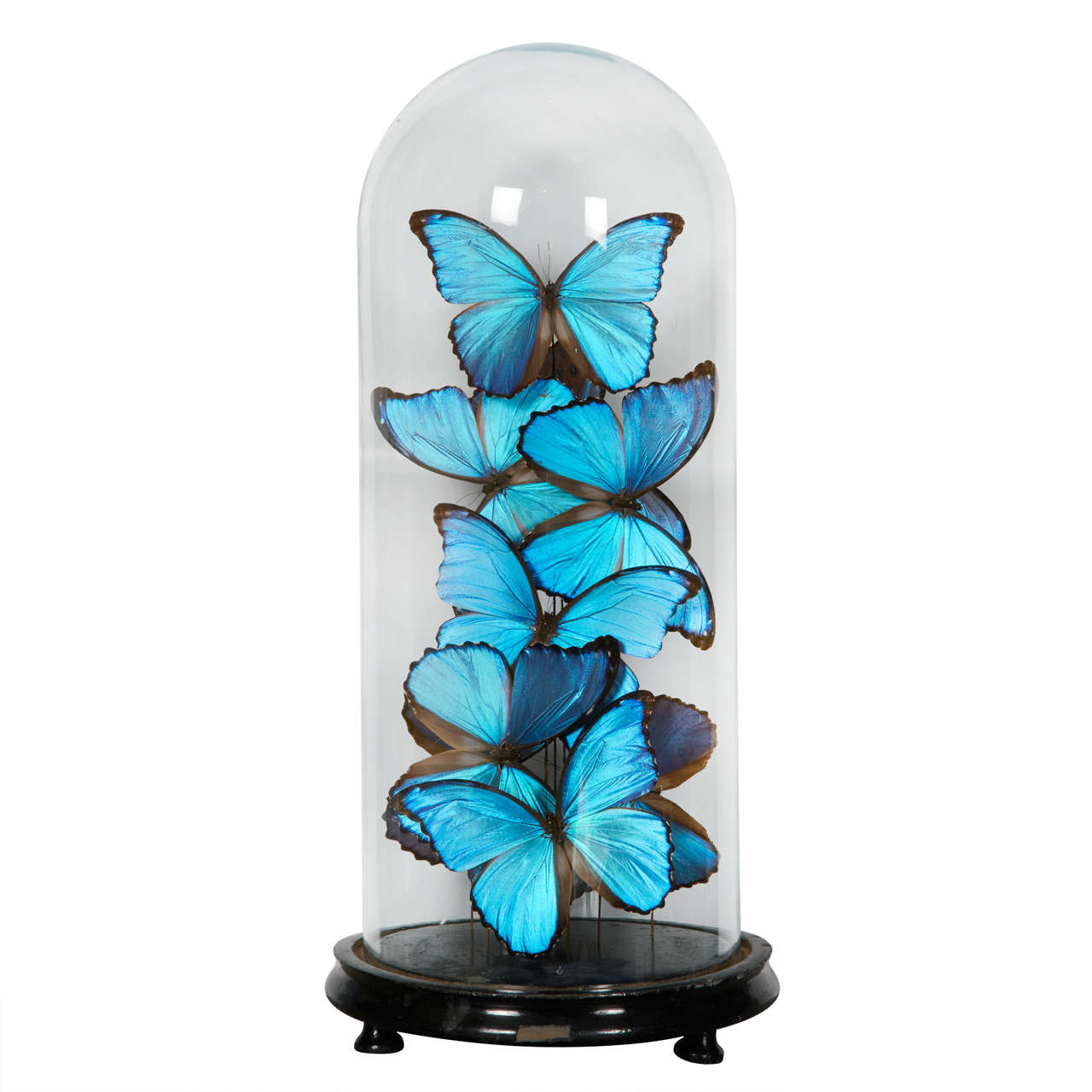 Collection of Morpho Butterflies under Glass Dome 1