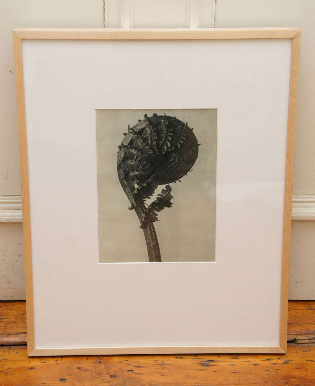 After Karl Blossfeldt (1865-1932) original botanical photogravure of a fern. From Urformen Der