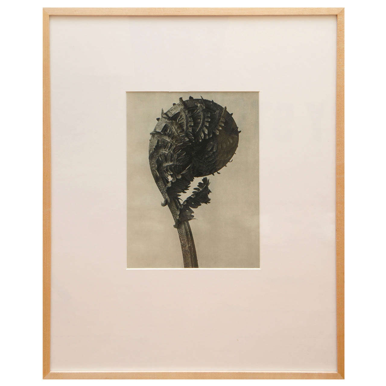 Original  Botanical Photogravure after Karl Blossfeldt