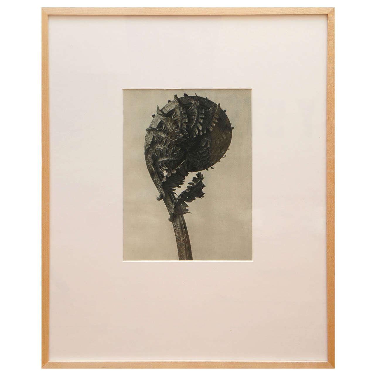 Original  Botanical Photogravure after Karl Blossfeldt