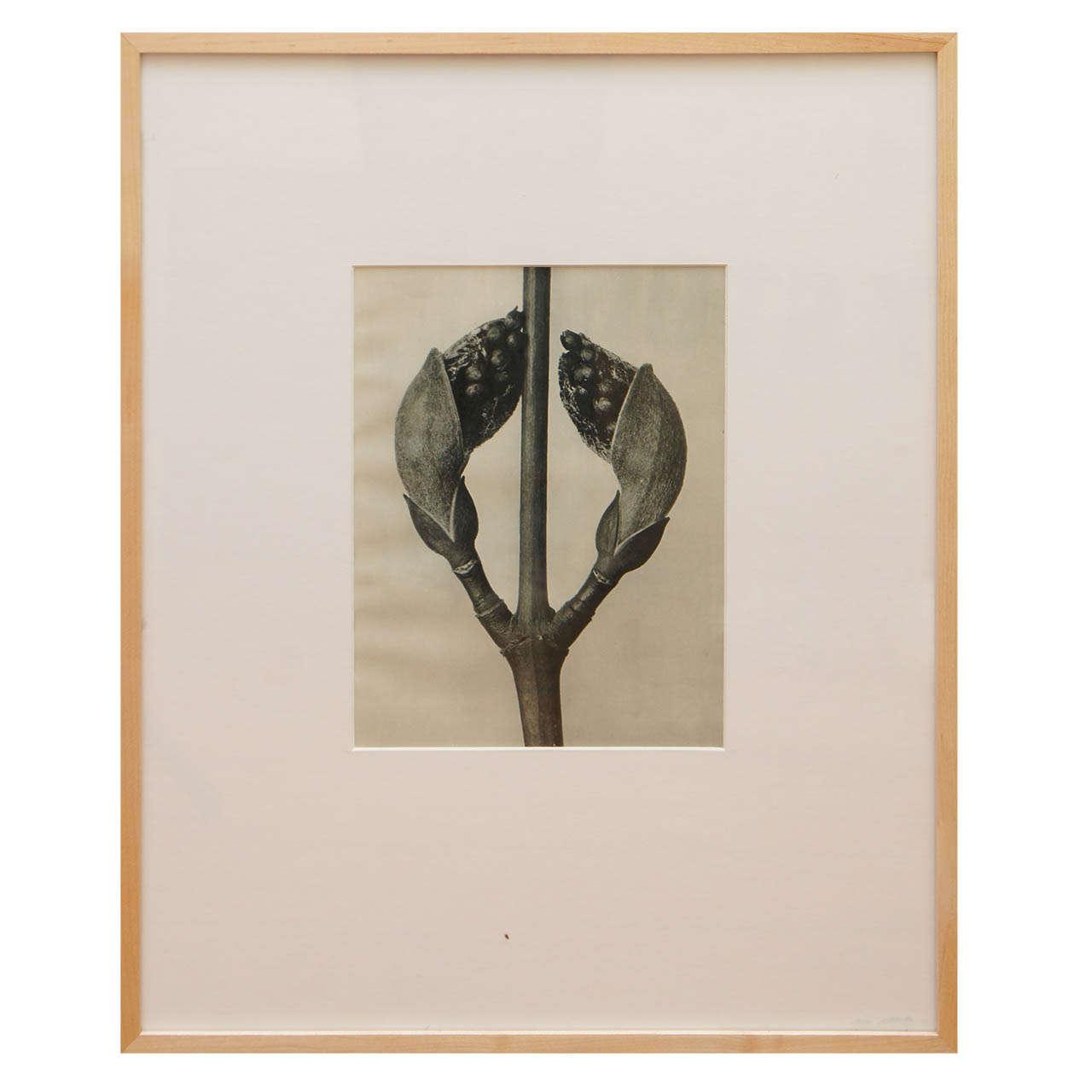 """Karl Blossfeldt, Botanical Image from """"Urformen Der Kunst"""""""