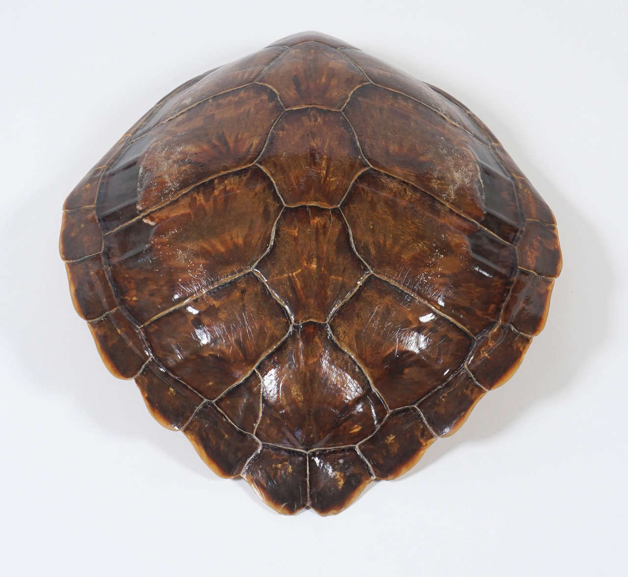 Antique 19th Century Large Tortoiseshell Or Carapace At