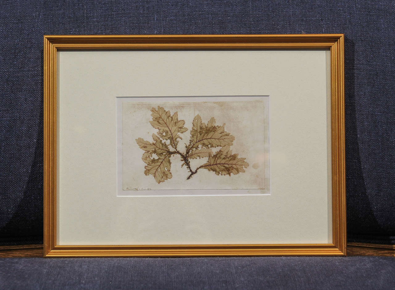 Set of four-framed dried seaweed specimens dated and noted where they were collected.