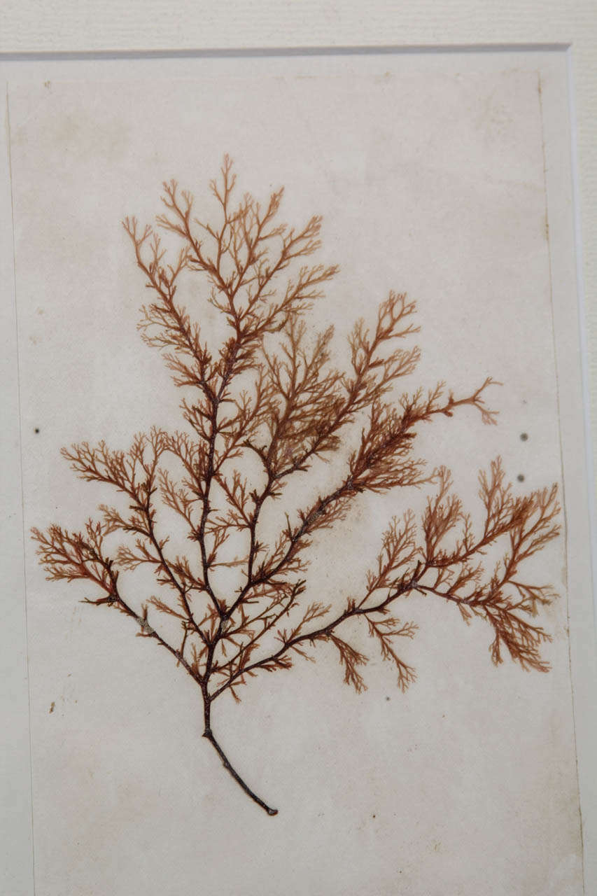 Late 19th Century Pressed Sea Grass In Excellent Condition For Sale In Seattle, WA
