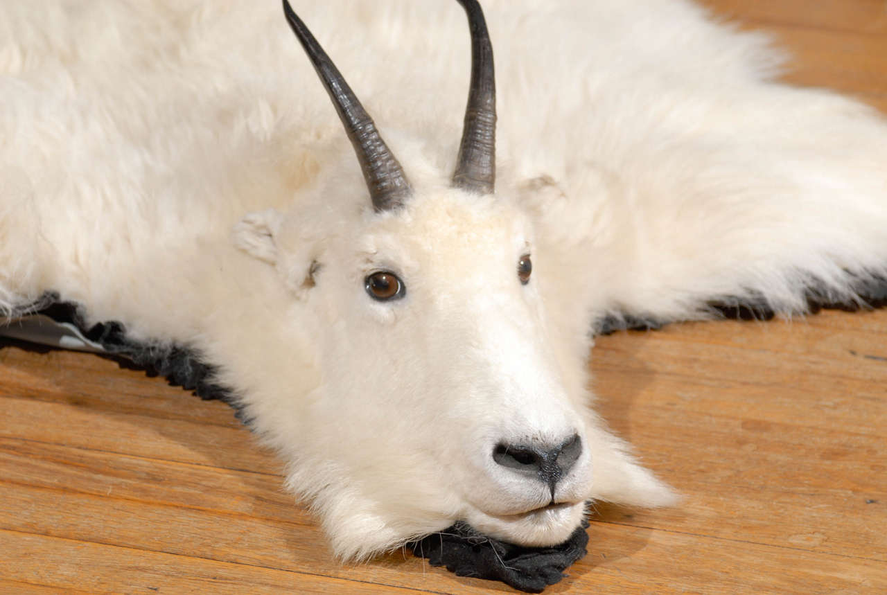 White Mountain Goat Taxidermy Rug At 1stdibs