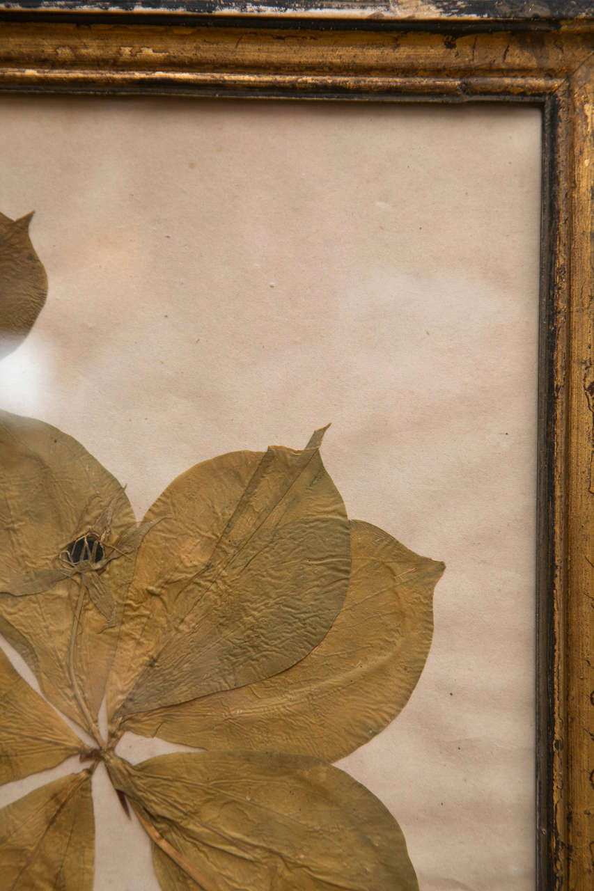 19th Century French Framed Botanical Specimens  4