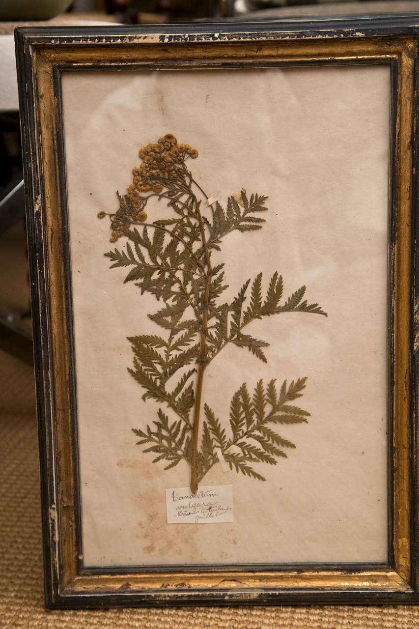 19th Century French Framed Botanical Specimens  6