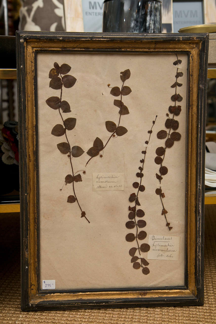 19th Century French Framed Botanical Specimens  9
