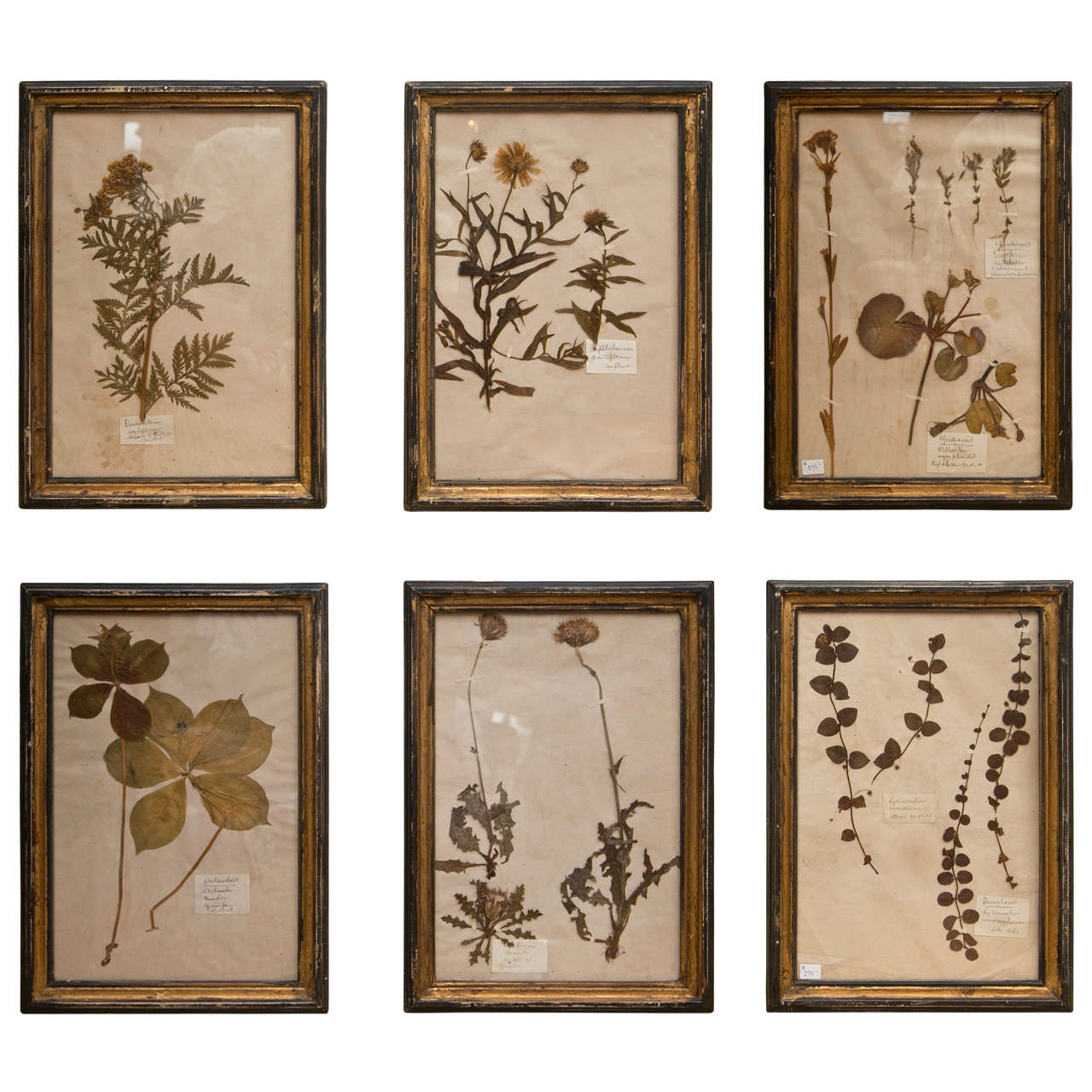 19th Century French Framed Botanical Specimens  1