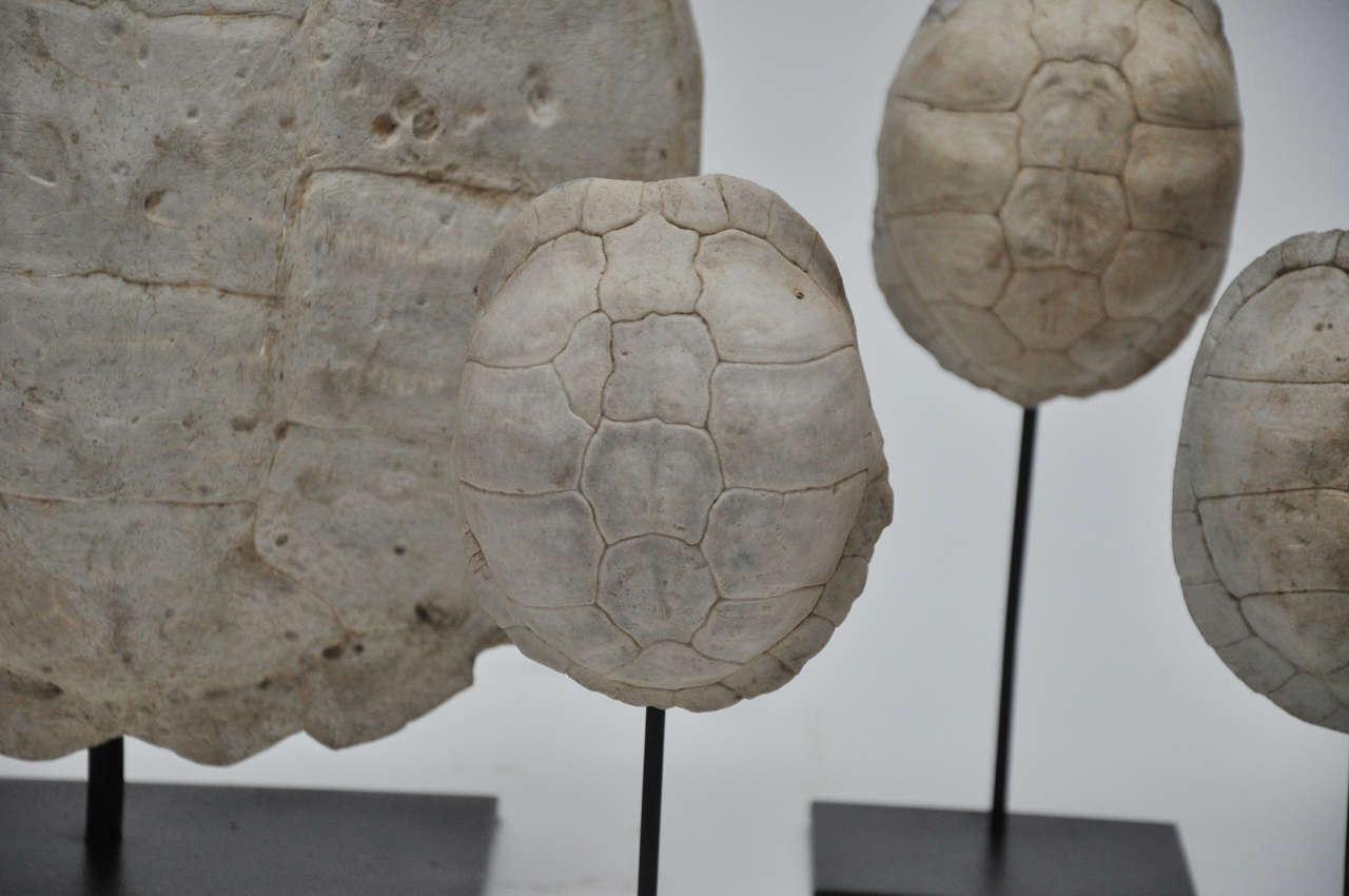 White Turtle Shell Collection