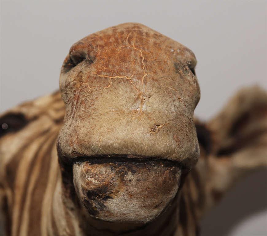 Vintage Taxidermy Zebra Head 3