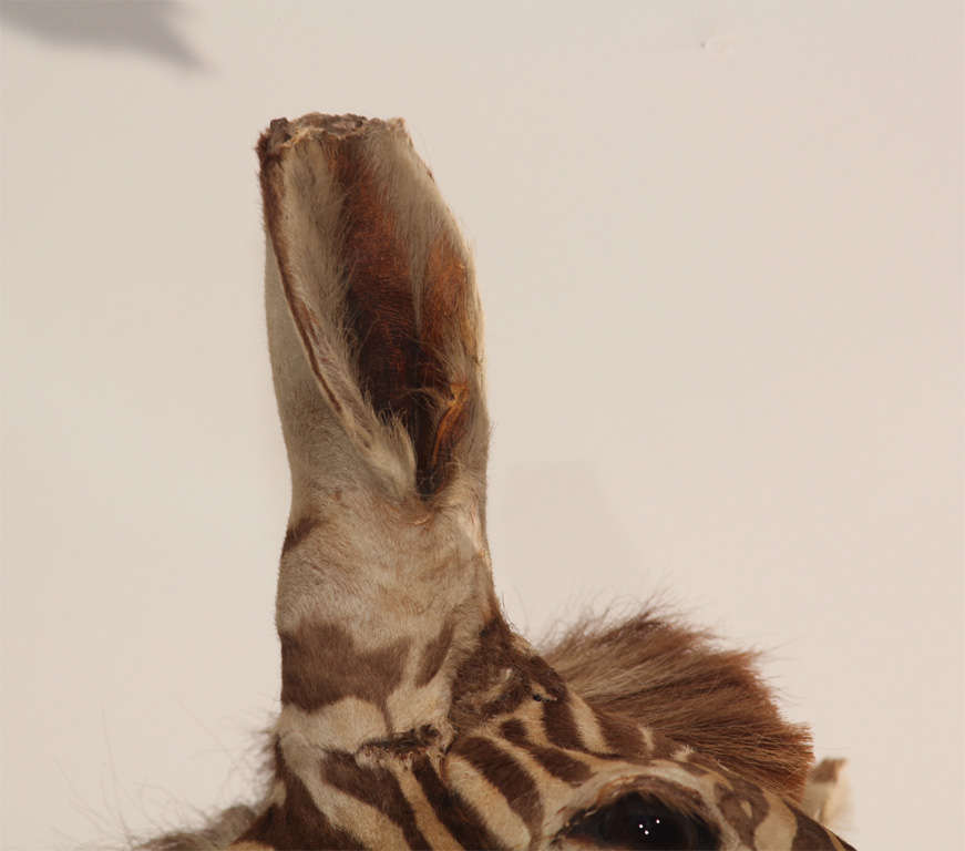 Vintage Taxidermy Zebra Head 5