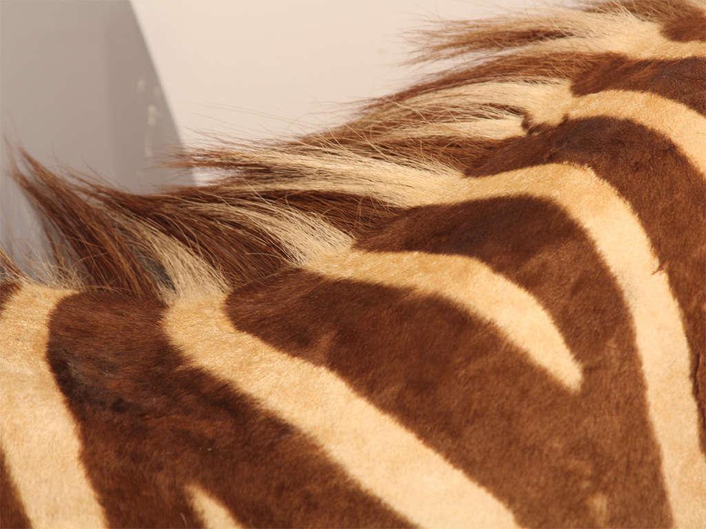 Vintage Taxidermy Zebra Head 6