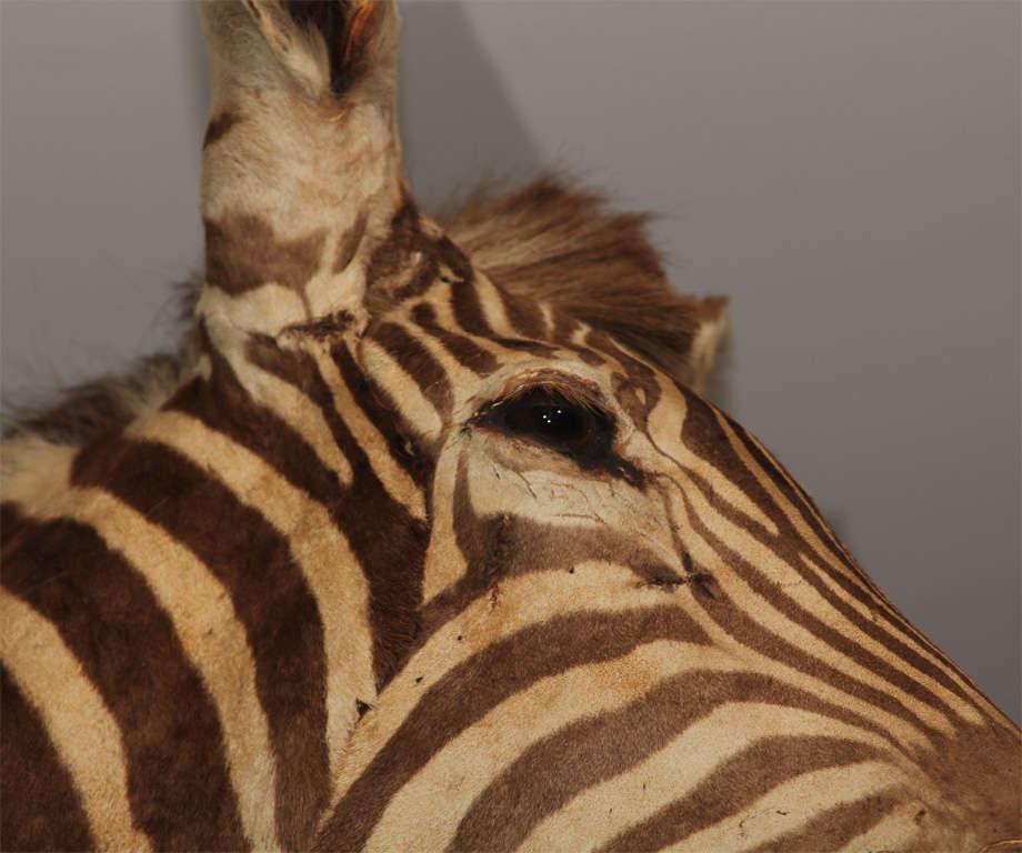 Vintage Taxidermy Zebra Head 7