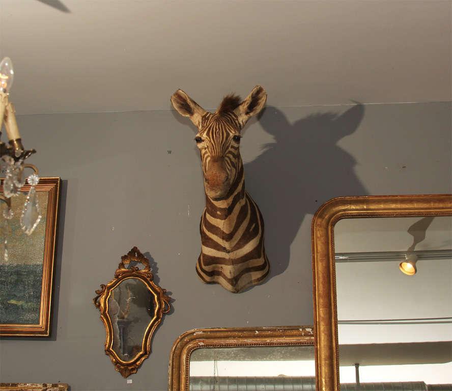 Vintage Taxidermy Zebra Head 8
