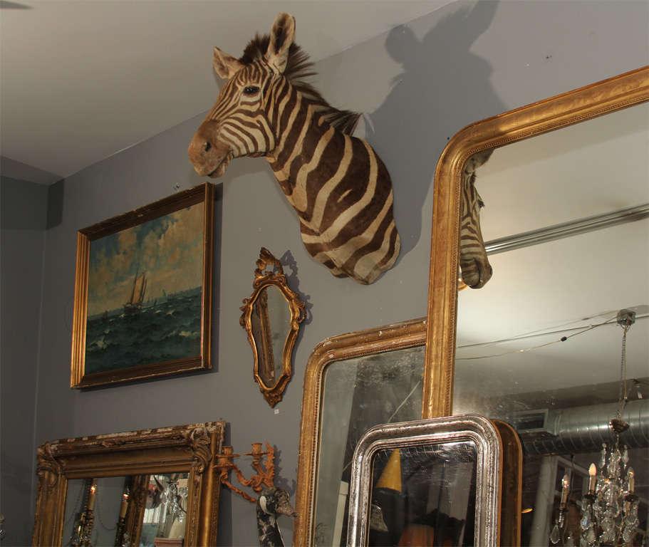 Vintage Taxidermy Zebra Head 9