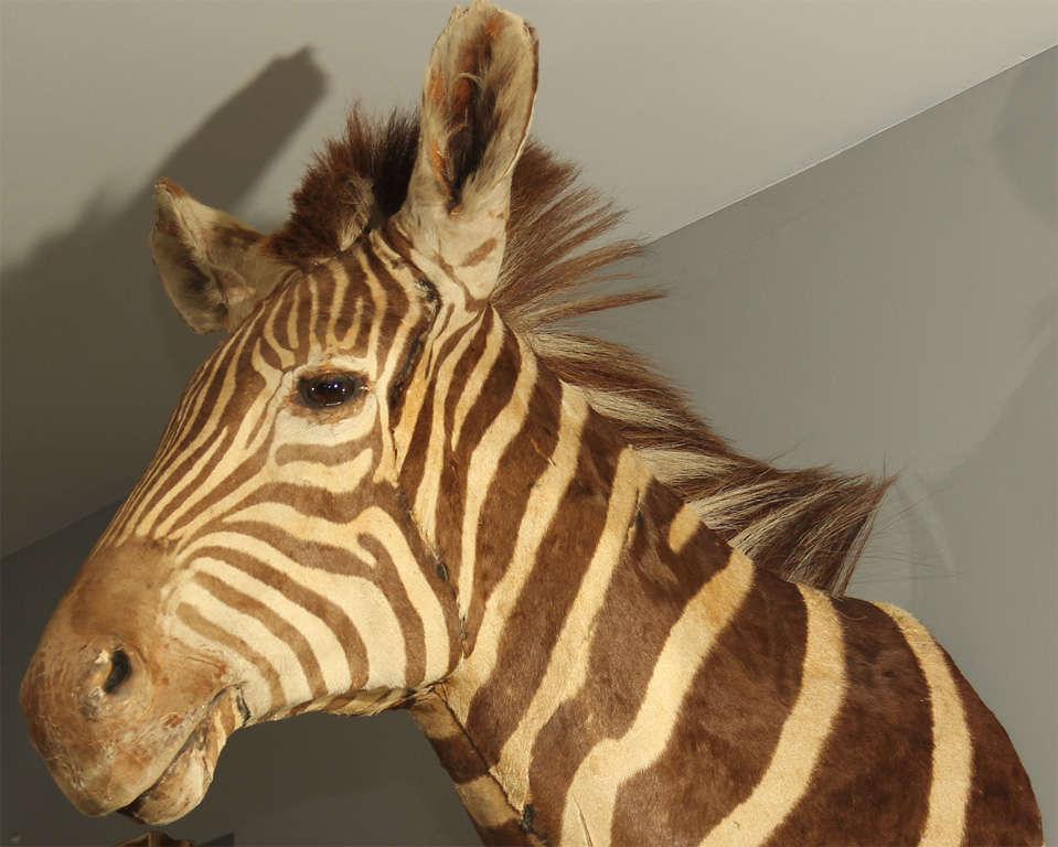 Vintage Taxidermy Zebra Head 10