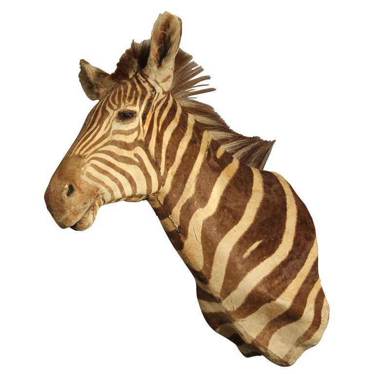 Vintage Taxidermy Zebra Head 1