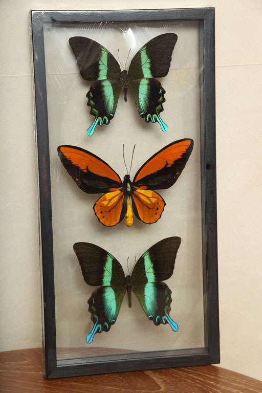 Framed Butterflies from Thailand image 3