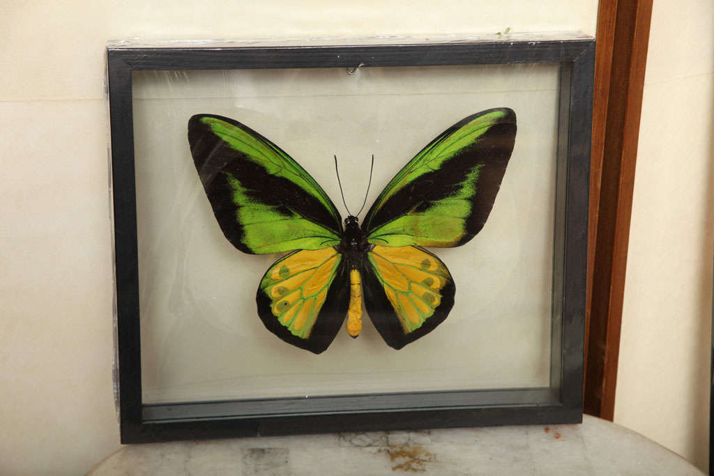 Framed Butterflies from Thailand image 5