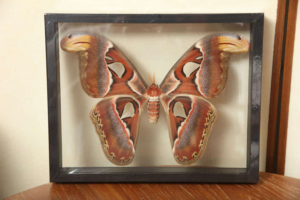Framed Butterflies from Thailand image 9
