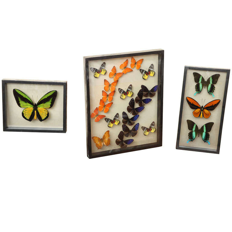 Framed Butterflies from Thailand