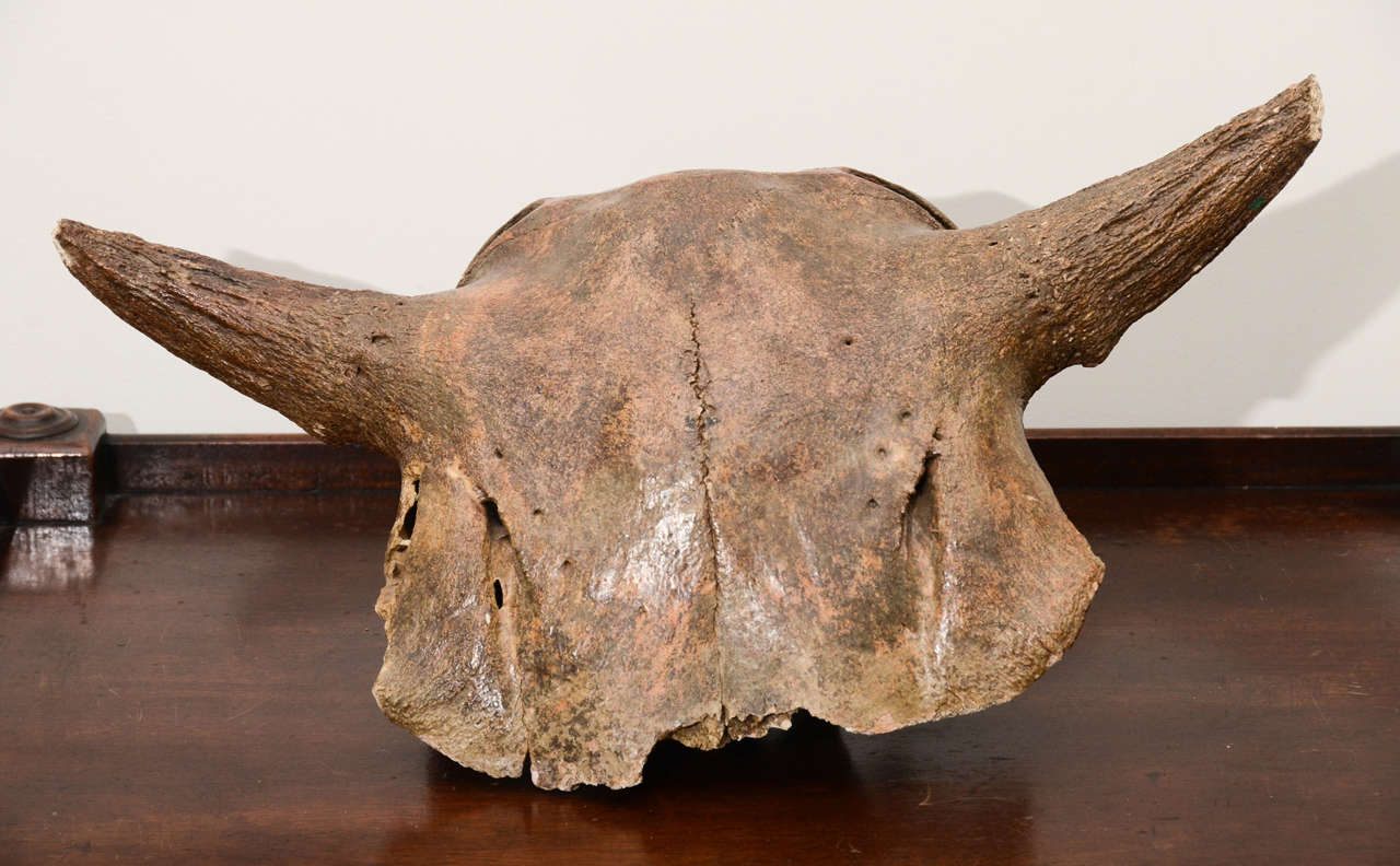 Aged and Patinated Cow Skull 3