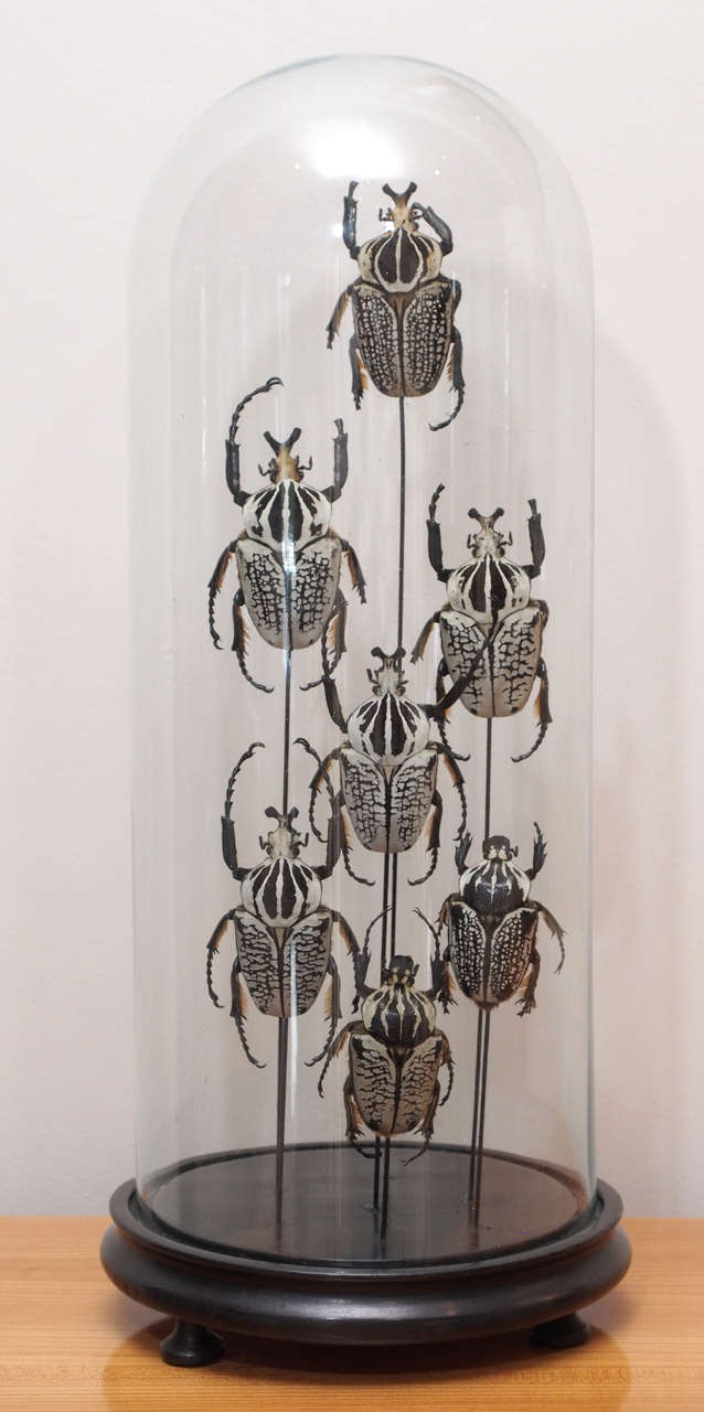 Specimen Beetles Under Glass Dome 2