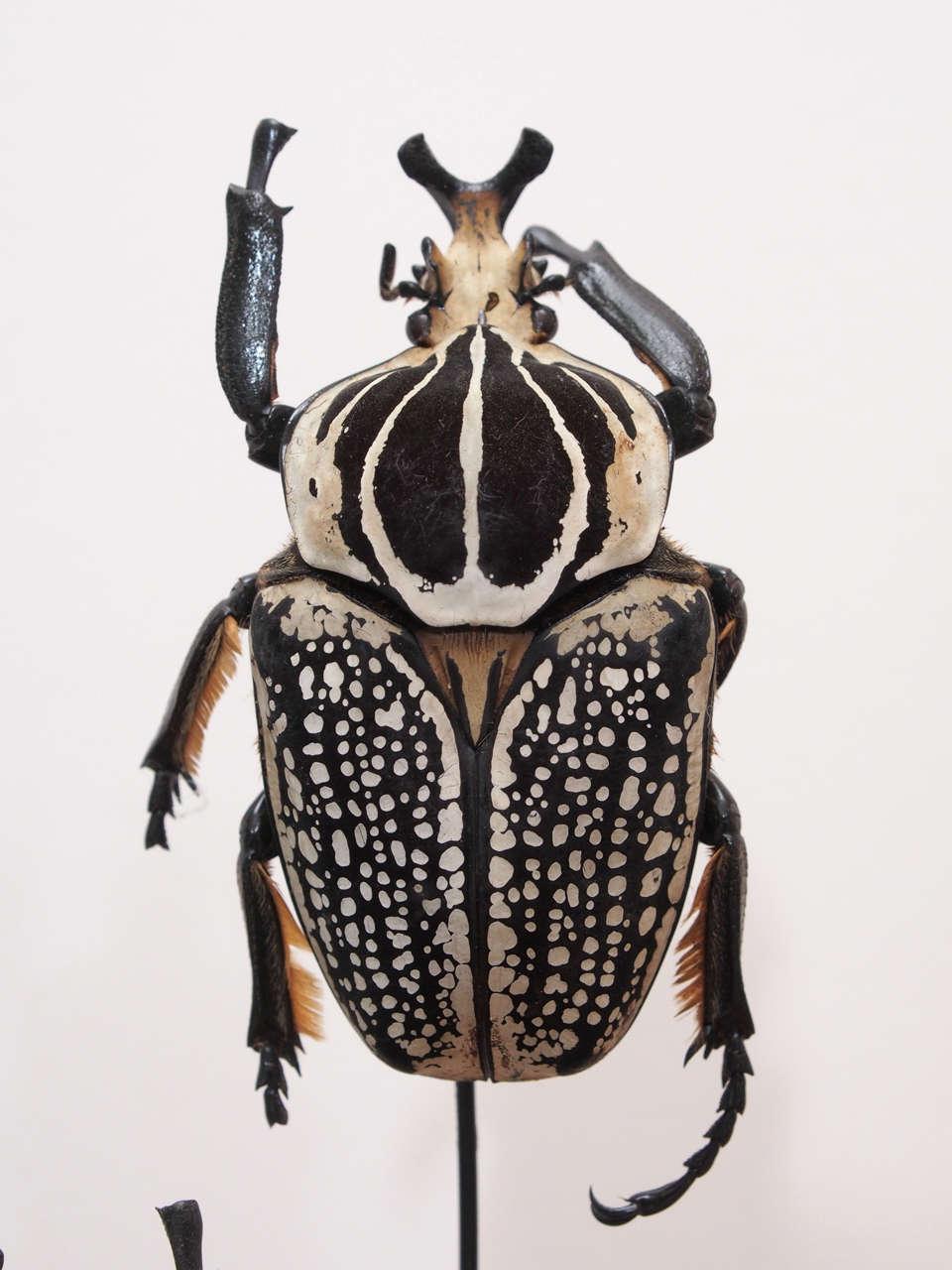 Specimen Beetles Under Glass Dome 3